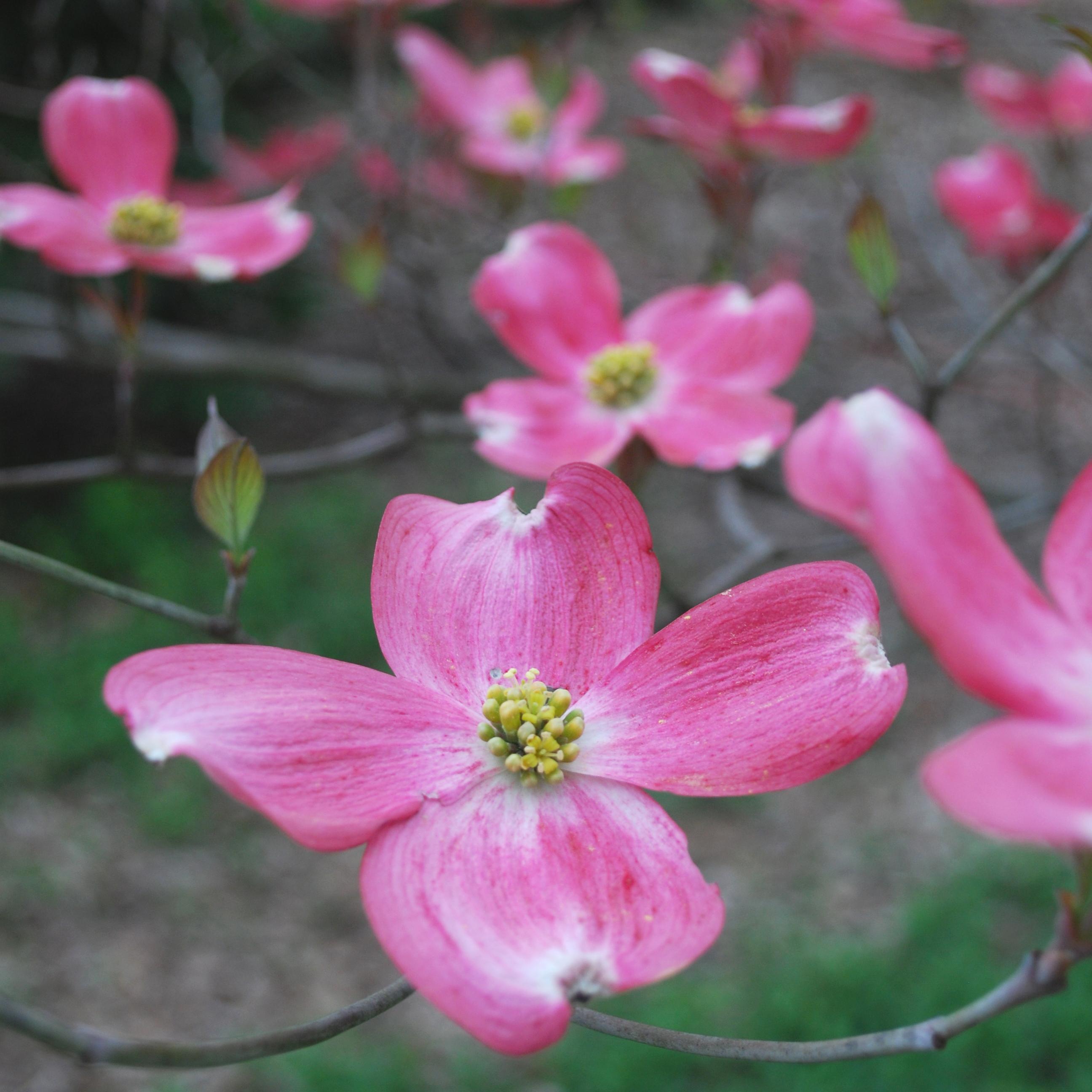 cornus pink 4-10-09 (1)