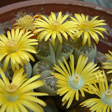 lithops-living-stones-in-bloom