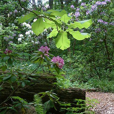 square_Glen Big leaf magnolia