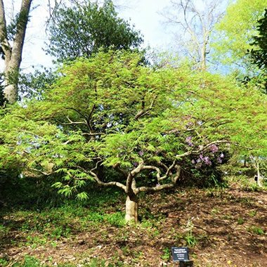 square_Japanese-Maple-Palmatifidum-1