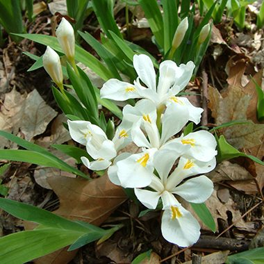 square_iris cristatat rvlg wildflowers 2011 (54)