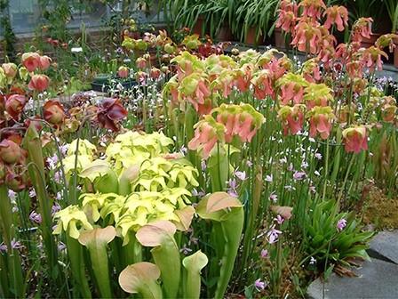 Bog Garden in Spring - Sarracenia and Rose Pogonia Orchids in bloom
