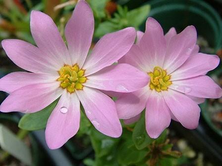 Marsh Pink Gentian - Sabatia dodecandra