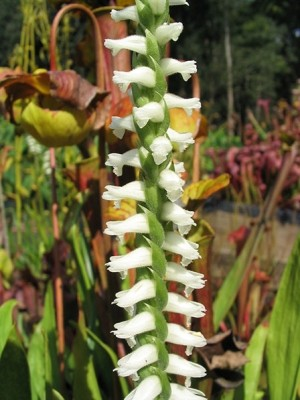 Ladies Tresses Orchid - Spiranthes 'Chadd's Ford'
