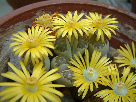 Living Stones in bloom - Lithops
