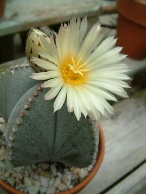 Bishop's Cap Cactus - Astrophytum myriostigma - Mexico