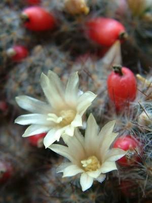Texas Nipple Cactus - Mammillaria prolifera - Texas & Mexico