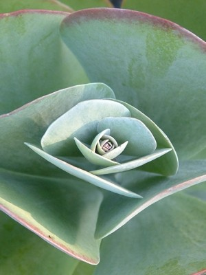 Paddle Plant - Kalanchoe thrysiflora