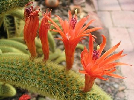 Tarantula Cactus flowers