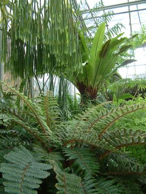 Ferns - Dinosaur's Garden