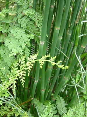 Horsetail - Equisetum hyemale