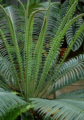 Cycad leaves - Encephalartos