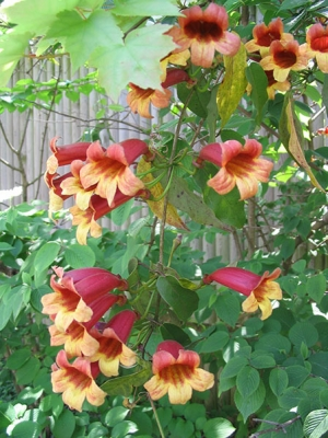 bignonia-capreolata-crossvine