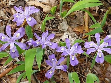iris-cristata-dwaf-crested-iris