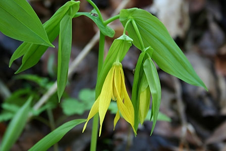 uvularia-grandiflora-large-flowered-bellwort