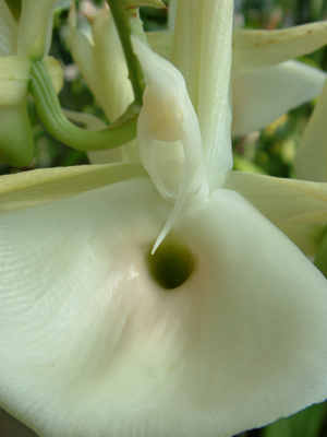 catasetum-pileatum-trigger-forcibly-attaches-pollen-to-bee