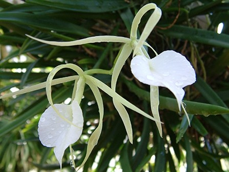 Brassavola Nodosa - fragrant at night