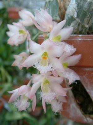catasetum-rosea