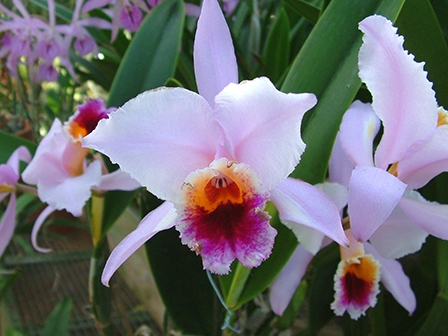 cattleya-percivalliana-meryl-flower-is-4-inches-wide