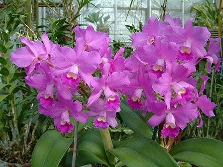cattleya-portia-gloriosa-big-plant-with-many-flowers