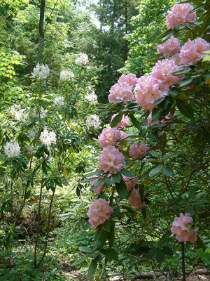 rhododendron-10