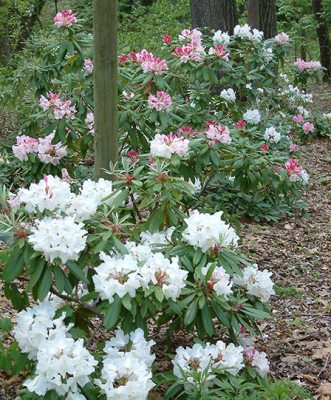 rhododendron-7