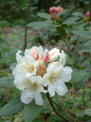 rhododendron-8