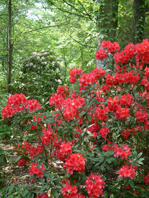 rhododendron-9