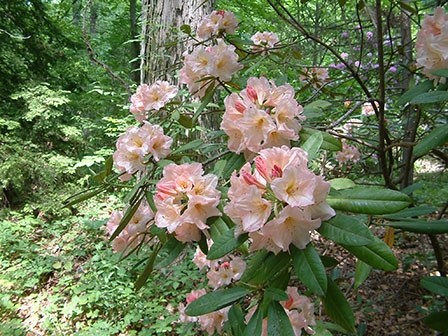rhododendron-3