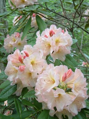 rhododendron-6
