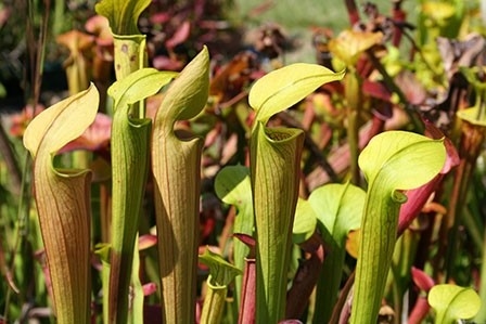 3-sarracenia-alata-alabama-to-texas