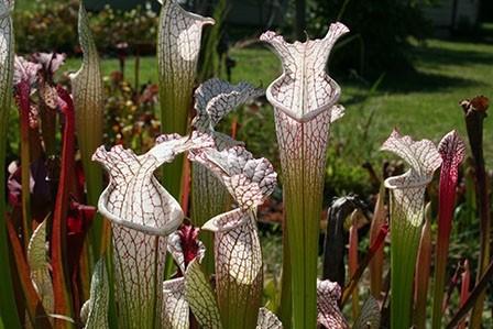 6a-sarracenia-leucophylla