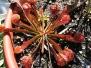 Carnivorous and Bog: Sarracenia Species