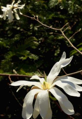Magnolia x kewensis