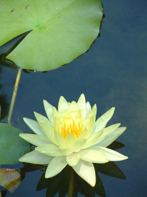 yellow-nymphaea