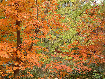 chalk-maple-in-harwood