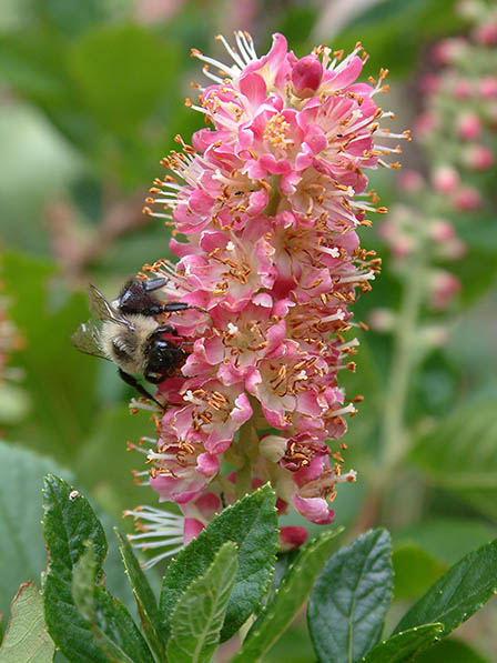 clethra-ruby-spice
