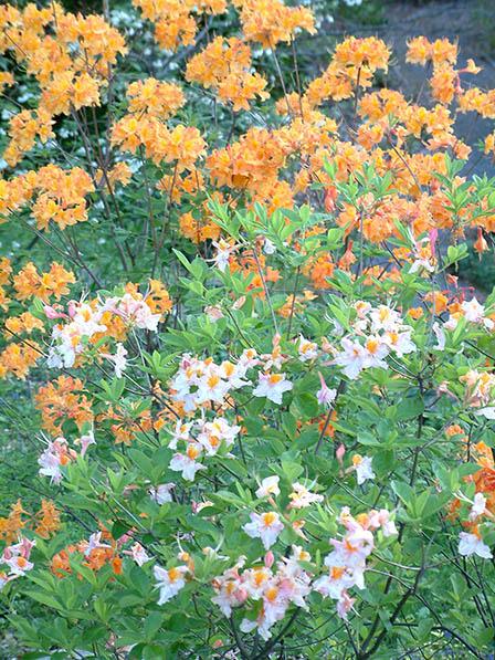 harwood-azaleas