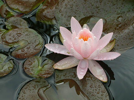 nymphaea-pink-hardy-waterlily