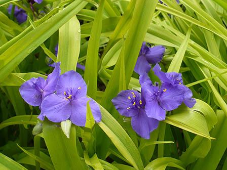 sweet-kate-spiderwort