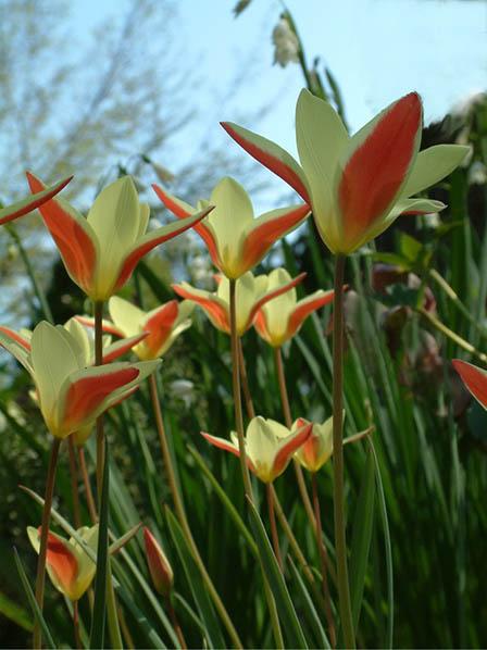 tulipa-clusiana
