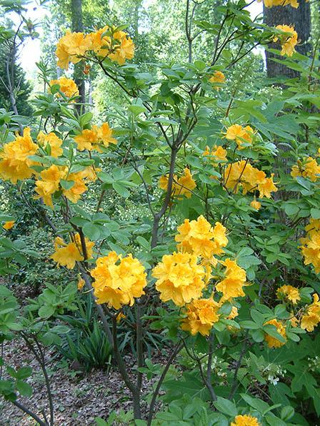 yellow-azalea
