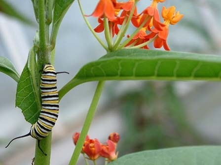 Asclepias Curassavica - tropical milkweed plant with monarch caterpillar