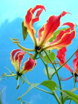 Gloriosa lily climbs by leaf-tip tendrils