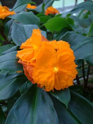Orange Costus