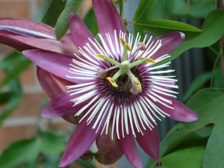 Passiflora Purpurata - purple passion flower
