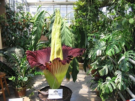 Titan Arum Bella - worlds largest flowering structure