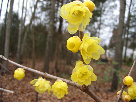 chimonanthus-luteus