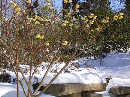 edgeworthia-in-snow