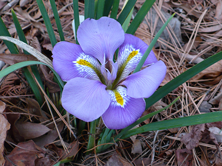 iris-unquicularis